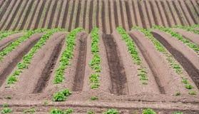 Filas de patatas nuevamente emergentes Fotos de archivo