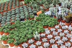 Filas de pequeñas flores en potes en invernadero Fotografía de archivo