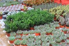 Filas de pequeñas flores en potes en invernadero Imágenes de archivo libres de regalías