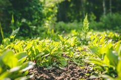 Filas de plantas en el jard?n foto de archivo