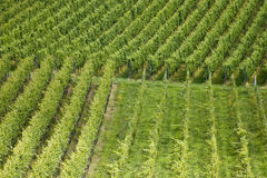 Filas de plantas en viñedo Imagenes de archivo