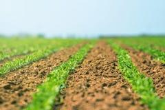 Filas de sojas verdes jovenes Plantación agrícola de la soja fotos de archivo libres de regalías