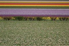 Filas de tulipanes coloridos en la floración en Países Bajos fotografía de archivo