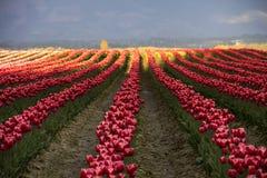 Filas de tulipanes en la puesta del sol Foto de archivo