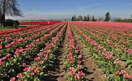 Filas de tulipanes rosados Fotos de archivo libres de regalías