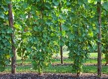 Filas de viñedos en verano Fotos de archivo libres de regalías