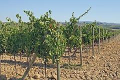 Filas de viñedos y de colinas de Toscana en Italia Imagen de archivo libre de regalías