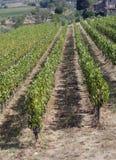 Filas de viñedos y de colinas de Toscana en Italia Fotografía de archivo libre de regalías