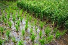 Filas del arroz de arroz Fotos de archivo libres de regalías