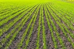 Filas del campo de trigo joven Imagen de archivo libre de regalías