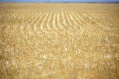 Filas del campo de trigo maduro de oro Foto de archivo libre de regalías