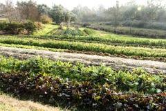 Filas del crecimiento de verduras en pequeña granja Foto de archivo