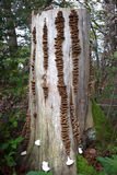 Filas del hongo de soporte en un tocón de árbol Foto de archivo
