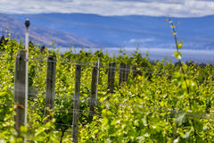 Filas del lagar de uvas Foto de archivo