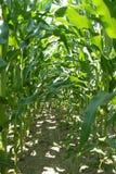 Filas del tallo del maíz Fotos de archivo libres de regalías