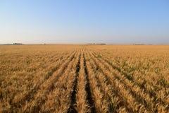 Filas del trigo Foto de archivo libre de regalías