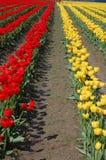 Filas del tulipán foto de archivo