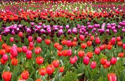 Filas del tulipán en primavera Fotografía de archivo libre de regalías