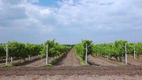 Filas del verano de viñedos almacen de metraje de vídeo