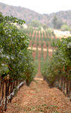 Filas del viñedo Imagen de archivo libre de regalías