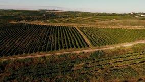 Filas del viñedo antes de cosechar metrajes