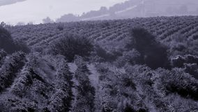 Filas del viñedo antes de cosechar