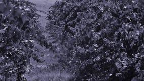 Filas del viñedo antes de cosechar, opinión del primer almacen de metraje de vídeo