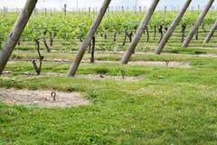 Filas del viñedo del vino Fotos de archivo libres de regalías
