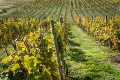 Filas del viñedo después de cosechar Imagen de archivo