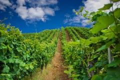 Filas del viñedo en Alemania Fotografía de archivo libre de regalías