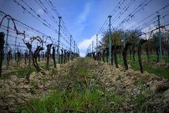 Filas del viñedo en primavera con el cielo azul Filas del viñedo Añada la ilustración suave Imagen de archivo