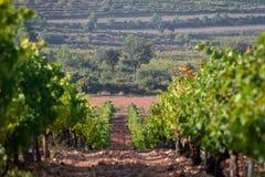 Filas del viñedo verde en un campo del suelo de arcilla y de un pino grande en el fondo en Valencia, España Fondo natural hermoso foto de archivo libre de regalías
