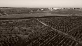 Filas del viñedo y de alrededores