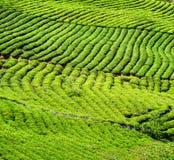 Filas escénicas de los arbustos verdes claros jovenes del té Imagen de archivo libre de regalías
