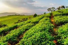 Filas escénicas de los arbustos verdes claros jovenes del té por la tarde Fotografía de archivo libre de regalías