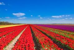 Filas hermosas del campo del tulipán con horizonte del cielo Fotos de archivo libres de regalías