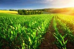Filas iluminadas por el sol de las plantas de maíz Imagen de archivo libre de regalías