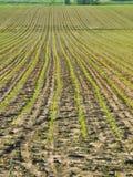 Filas jovenes del maíz en la primavera, el condado de Lancaster, Pennsylvania imagenes de archivo