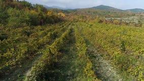 Filas jovenes del viñedo de las uvas Viñedos viejos con las uvas de vino tinto tiro Viñedos escénicos hermosos en la salida del s almacen de metraje de vídeo