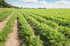 Filas largas de las plantas de la zanahoria en el campo Imagenes de archivo