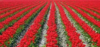 Filas rojas de los tulipanes paralelamente Foto de archivo