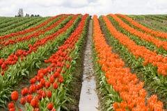 Filas rojas y anaranjadas del tulipán Imagen de archivo