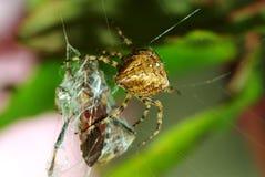 Filatura del ragno Fotografia Stock