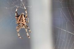 Filatura del ragno Immagine Stock