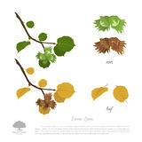 Filbert branch in summer and autumn. Nuts and hazelnut leaves. Vector illustration Stock Images