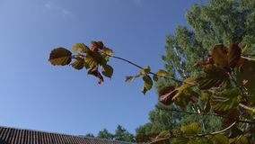 Filbert hazelnut tree branch with nuts against blue sky and house roof. 4K. Filbert hazelnut tree branch with nuts against blue sky and village house roof stock video footage
