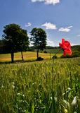 fild花卉生长鸦片麦子 免版税库存图片