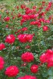 Fild delle rose rosse nel giardino Sfondo naturale Bokeh Immagini Stock