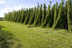 Fild of Hops Royalty Free Stock Images