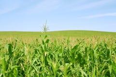 Fild verde del maíz y cielo azul imagen de archivo